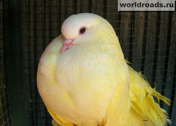 Как сделать желтых голубей 639