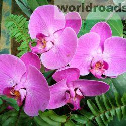 Орхидеи ботанического сада Kandawgyi