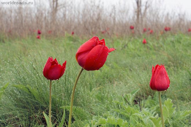 Цветение тюльпанов