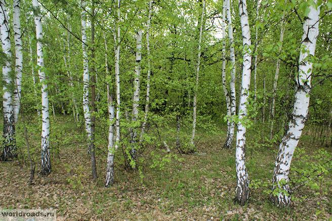 Берёзовый лесок