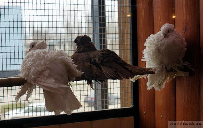 Кучерявые голуби