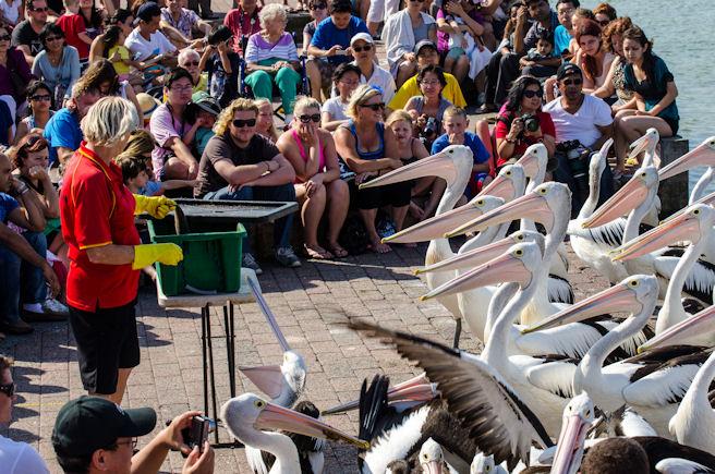 Кормление пеликанов