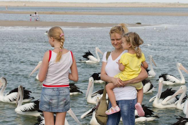 Пеликаны в Австралии
