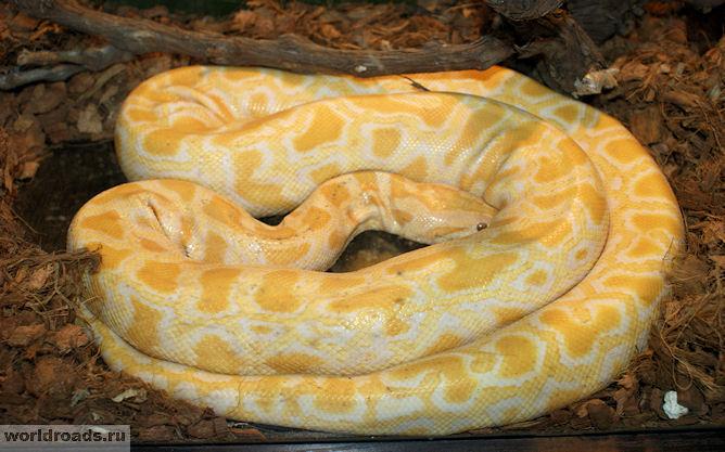 Тигровый питон альбинос