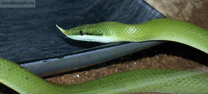 Зелёный полоз Буланже