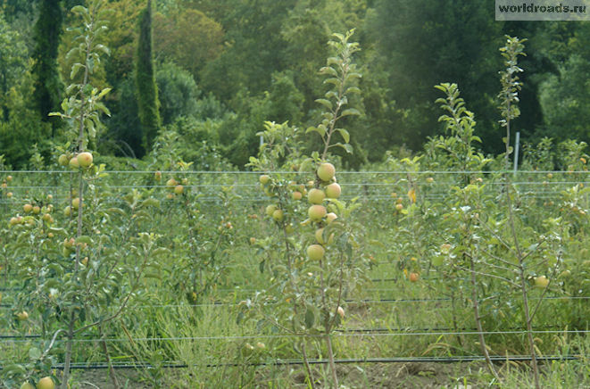 Яблони в долине реки Нечепсухо