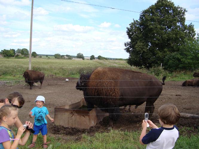 Бизонья ферма в Эстонии