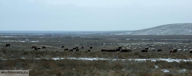 Калмыцкие коровы