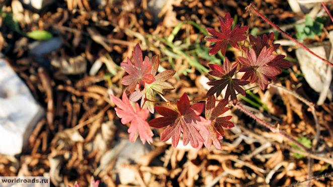 Красное растение