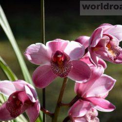 Орхидеи Национального ботанического сада Kandawgyi