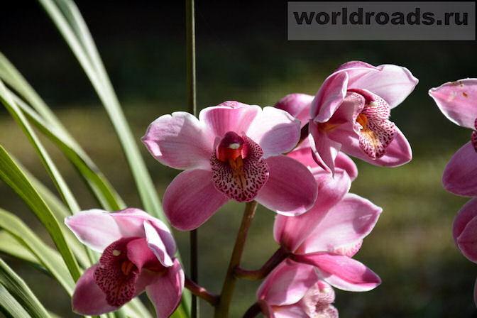 Орхидеи Мьянмы