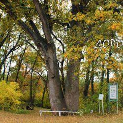 Вёшенский дуб – самое старое дерево в Ростовской области