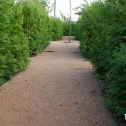 Зелёный и целебный лабиринт из туй в Ростове-на-Дону, который можно посетить бесплатно